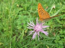 Η πεταλούδα στο λουλούδι Στοκ εικόνες με δικαίωμα ελεύθερης χρήσης