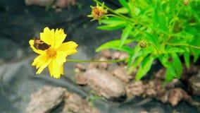 Η πεταλούδα συλλέγει τη γύρη από το κίτρινο λουλούδι απόθεμα βίντεο