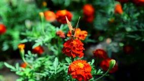 Η πεταλούδα συλλέγει το νέκταρ ανθίζοντας marigold φιλμ μικρού μήκους