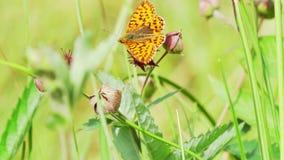 Η πεταλούδα συλλέγει το νέκταρ από ένα λουλούδι φιλμ μικρού μήκους