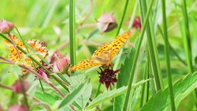 Η πεταλούδα συλλέγει το νέκταρ από ένα λουλούδι απόθεμα βίντεο