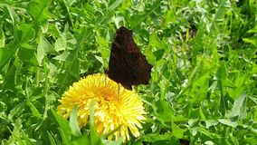 Η πεταλούδα συλλέγει το νέκταρ από το λουλούδι πικραλίδων Κυματίζοντας φτερά και γρήγορη μετακίνηση των proboscis r απόθεμα βίντεο
