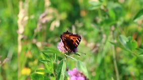 Η πεταλούδα συλλέγει το νέκταρ από το τριφύλλι στο λιβάδι Λουλούδια και ταλάντευση χλόης στο θερμό θερινό αέρα απόθεμα βίντεο