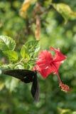 Η πεταλούδα συλλέγει το νέκταρ κόκκινα hibiscus Στοκ φωτογραφία με δικαίωμα ελεύθερης χρήσης