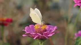 Η πεταλούδα συλλέγει το νέκταρ στο λουλούδι απόθεμα βίντεο