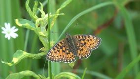 Η πεταλούδα το μικρό μαργαριτάρι-οριοθετημένο fritillary ή ασημένιος-οριοθετημένο fritillary /Boloria selene/κάθεται σε ένα πράσι φιλμ μικρού μήκους