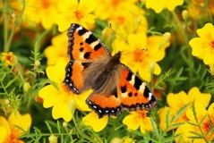 η πεταλούδα χρωματίζει κί&t Στοκ Εικόνα
