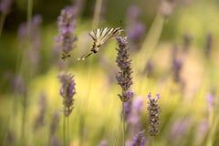 η πεταλούδα Iphiclides Podalirius σε ένα lavender λουλούδι συλλέγει το νέκταρ μια ηλιόλουστη θερινή ημέρα, που διαδίδει τα φτερά  στοκ εικόνα με δικαίωμα ελεύθερης χρήσης