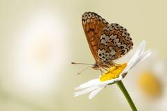 η πεταλούδα Melitaea κάθεται σε ένα θερινό πρωί σε ένα λουλούδι μαργαριτών στοκ φωτογραφία με δικαίωμα ελεύθερης χρήσης