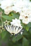 Η πεταλούδα Papilio Machaon σε ένα λευκό αυξήθηκε στοκ φωτογραφία