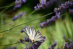 Η πεταλούδα - podalirius Iphiclides - κλείνει επάνω Στοκ Εικόνες