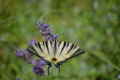 Η πεταλούδα - podalirius Iphiclides - κλείνει επάνω Στοκ φωτογραφία με δικαίωμα ελεύθερης χρήσης