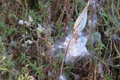 Η πεταλούδα seedpod Στοκ φωτογραφίες με δικαίωμα ελεύθερης χρήσης