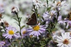 Η πεταλούδα sist σε ένα fower και πίνει το γλυκό νέκταρ Στοκ εικόνα με δικαίωμα ελεύθερης χρήσης