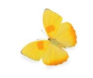 η πεταλούδα απομόνωσε άσπ& Στοκ Εικόνες