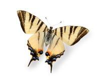 η πεταλούδα απομόνωσε άσπ& Στοκ Φωτογραφίες