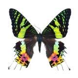 η πεταλούδα απομόνωσε το λευκό Στοκ Φωτογραφία