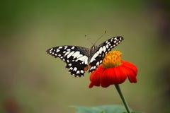 Η πεταλούδα ασβέστη Στοκ φωτογραφία με δικαίωμα ελεύθερης χρήσης