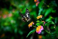 Η πεταλούδα ασβέστη Στοκ εικόνα με δικαίωμα ελεύθερης χρήσης