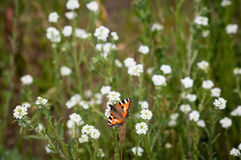 Η πεταλούδα κάθεται σε έναν κλάδο με τα μικρά άσπρα λουλούδια στο μέρος λιβαδιών του ελεύθερου χώρου δρόμου στοκ εικόνα με δικαίωμα ελεύθερης χρήσης