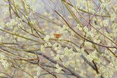Η πεταλούδα κάθεται σε μια ιτιά δέντρων Στοκ Εικόνες