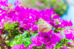 Η πεταλούδα και τα λουλούδια, bougainvillea κήπων πεταλούδων flowe Στοκ Φωτογραφία