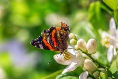 Η πεταλούδα πίνει το νέκταρ από ένα πορτοκαλί λουλούδι δέντρων Στοκ Εικόνα