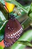 Η πεταλούδα προέκυψε από το κουκούλι. στοκ φωτογραφία με δικαίωμα ελεύθερης χρήσης