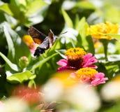 Η πεταλούδα συλλέγει κατά την πτήση το νέκταρ από τα λουλούδια Στοκ Εικόνα