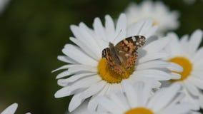 Η πεταλούδα συλλέγει το νέκταρ από ένα λουλούδι και πετά έπειτα μακριά Κινηματογράφηση σε πρώτο πλάνο απόθεμα βίντεο