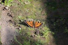 Η πεταλούδα του ματιού peacock Στοκ φωτογραφία με δικαίωμα ελεύθερης χρήσης
