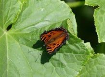 Η πεταλούδα του ματιού peacock Στοκ Φωτογραφίες