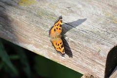 Η πεταλούδα του ματιού peacock Στοκ φωτογραφίες με δικαίωμα ελεύθερης χρήσης