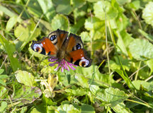 Η πεταλούδα του ματιού peacock, Inachis io, Nymphalidae, κάθισμα ο Στοκ Φωτογραφία