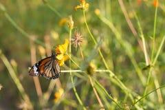 Η πεταλούδα τρώει το σιρόπι από το λουλούδι Στοκ εικόνα με δικαίωμα ελεύθερης χρήσης