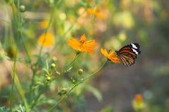 Η πεταλούδα τρώει το σιρόπι από το λουλούδι Στοκ Φωτογραφία