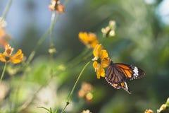 Η πεταλούδα τρώει το σιρόπι από το λουλούδι Στοκ Φωτογραφίες