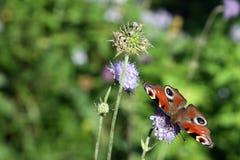 Η πεταλούδα peacock συλλέγει το νέκταρ σε ένα λουλούδι Στοκ Φωτογραφίες
