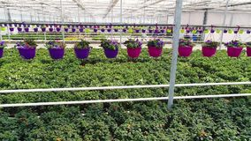 Η πετούνια στα δοχεία κρεμά πέρα από πολλά λουλούδια, στο θερμοκήπιο αυξηθείτε τα εγχώρια λουλούδια, λουλούδια σε ένα δοχείο, που απόθεμα βίντεο