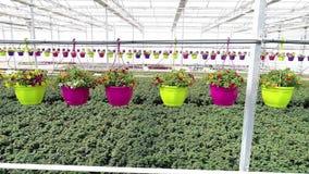 Η πετούνια στα δοχεία κρεμά πέρα από πολλά λουλούδια, στο θερμοκήπιο αυξηθείτε τα εγχώρια λουλούδια, λουλούδια σε ένα δοχείο, που φιλμ μικρού μήκους