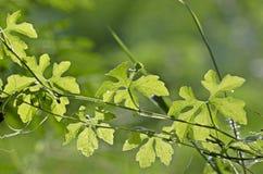 Η πικρή κολοκύθα βγάζει φύλλα Στοκ Εικόνες
