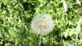 Η πικραλίδα ξεφυσά ή η νεράιδα επιθυμεί ένα αγγλικό καλοκαίρι στοκ φωτογραφίες