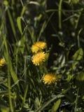η πικραλίδα ανθίζει κίτριν&o Στοκ εικόνες με δικαίωμα ελεύθερης χρήσης