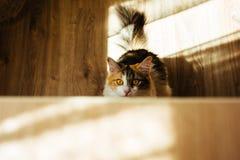 Η πιπερόριζα τρία γάτα χρώματος είναι έτοιμη να πηδήσει στον πίνακα Θερμή τονίζοντας εικόνα Έννοια κατοικίδιων ζώων τρόπου ζωής Στοκ φωτογραφία με δικαίωμα ελεύθερης χρήσης