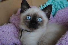Η πιό πιστή γάτα με τα θεϊκά μάτια Στοκ φωτογραφίες με δικαίωμα ελεύθερης χρήσης