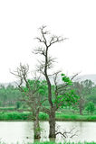 η πλάτη πέθανε πρασινωπό γκρίζο δέντρο τόνου Στοκ εικόνες με δικαίωμα ελεύθερης χρήσης