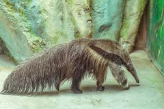 Η πλευρά του anteater Στοκ Εικόνα