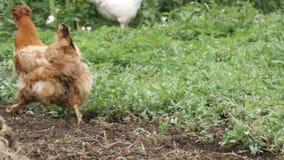 Η ποικιλία των κοτόπουλων και οι κόκκορες τρέχουν γύρω στο φυτικό κήπο στο χωριό κοντά στο σωρό λιπάσματος φιλμ μικρού μήκους