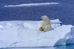 Η πολική αρκούδα κάνει ηλιοθεραπεία Στοκ εικόνα με δικαίωμα ελεύθερης χρήσης