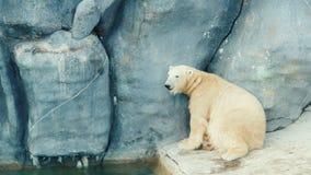 Η πολική αρκούδα πλένει το πρόσωπό του φιλμ μικρού μήκους